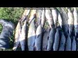 «я настоящий рыбак» под музыку Дилижанс - Как получим диплом =)) угарная песня про тех кто после универа поедет в деревню работать=). Picrolla