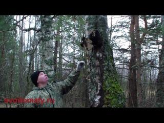 Чага (берёзовый гриб) – полезные свойства