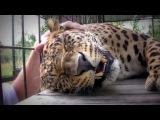 Леопард мурлычит :))