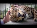 Леопард мурлыкает, как мотоцикл