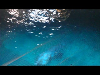Моржи, Океанариум в Валенсии.