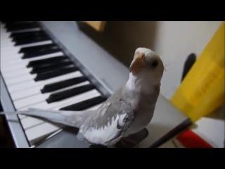 Попугай поет саундтрек из