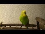 Попугай декламирует Пушкина и поёт детские песни