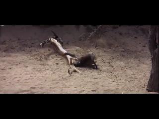 Пьяные животные после африканского фрукта марула )))