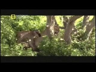 Сердце львицы и последствие