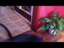 Fat cat vs a vacuum cleaner!