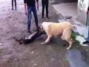 Собачьи бои сао алабай vs питбуль