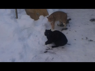 Черный кот vs Рыжий кот угар