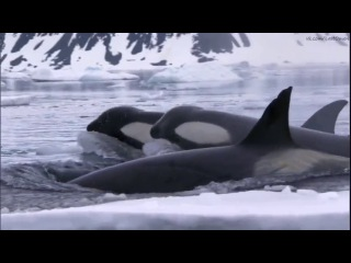Охота на тюленя. Касатки