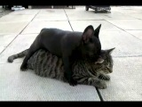 French Bulldog Betty Attacks Gary