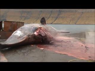 Мертвый кашалот взорвался на пляже на Фарерских островах в Северной Атлантике