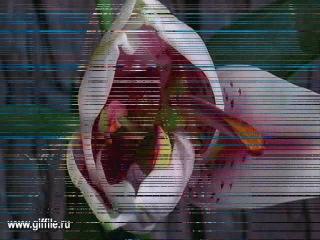 Белые лилии.любимой ритуленьки...