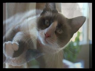 Сноу шу))) Кошки- белоножки!!!