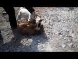 Собачьи бои бультерьер vs стафф