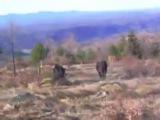 Собачьи бои алано vs дом бык