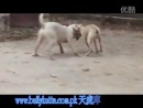 Собачьи бои гулл терр vs гуль донг