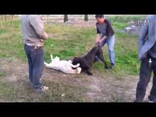 Собачьи бои кане корсо и арг дог