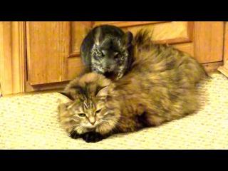 Шиншилла, кот и собака))