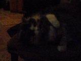 кошка лижет кота