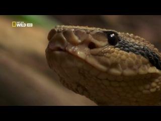 Secret Life of Predators / Тайная жизнь хищников (2013)/ 4 серия: в лесах.