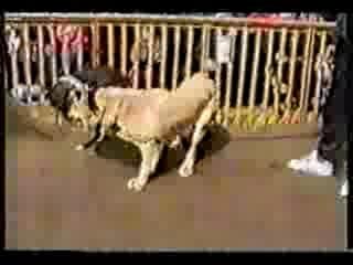 Собачьи бои стаффорд Боря vs сао