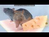 крысы под музыку Веселая Музяка - заводная мелодия из комедии . Picrolla