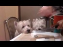 West Highland White Terrier recipe (Demon Vs Heartbreaker - You Are My High Vocal Mix)