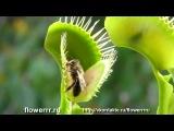 Плотоядные хищные растения мухоловки