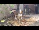 Собачьи бои тибетский мастиф vs сао