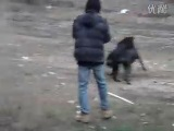 собачьи бои доберман vs ротвейлер
