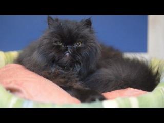 Caffrey the amazing two legged cat-Удивительный  двулапый кот Кэффри)