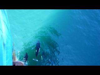 Касатки в Беринговом море перед т/р