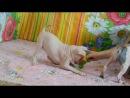 Есения, девочка Американского голого терьера. д.р.14.09.2012г