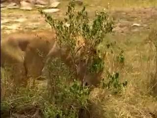 Тайный мир животных- Львы, гепарды, леопарды - жестокий мир хищников [2013]