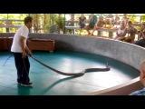 Трюк не удался, королевская кобра чуть цапнула зрителей!!!!