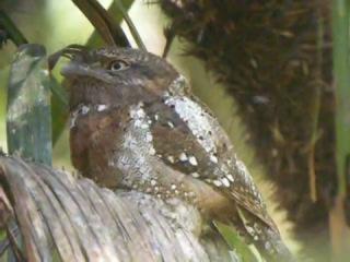 Цейлонский лягушкорот / Sri Lankan Frogmouth or Ceylon Frogmouth / Batrachostomus moniliger