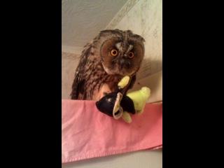 Ушастая сова Гектор со своей жертвой