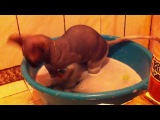 Купание лысого кота. Часть 2)))