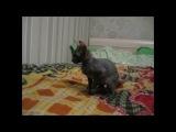 Няшный котэ Мистер Патрик (Корниш рекс) нарезка. Очень мило)))