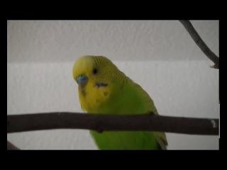 Попугай поёт песню про Антошку