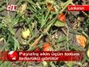 Lənkəranda saxlanma müddəti çox və xəstəliyə davamlı olan xiyar və pomidor sortları yetişdirilir