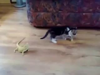 Котёнок и игуаны! Страааашно :)