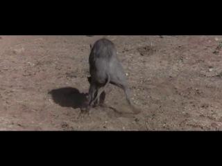 Пьяные животные (Обезьяны-это вообще ржака а слону все мало)