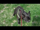 Собака пердит - Bulldog farting