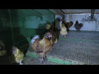 Китайская шёлковая порода кур в хозяйстве ЭкоФерма73.ру