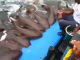 Мужчина приручил стаю акул!