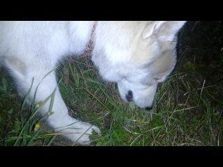 Специальный репортаж: дикий волк есть траву