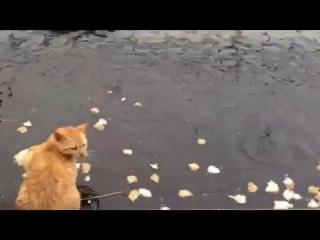 Кошки охотятся за рыбой в пруду