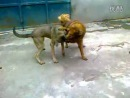 собачьи бои бразильский фила VS тибетский мастиф