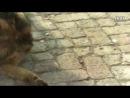 Собачьи бои немецкая овчарка vs борзая